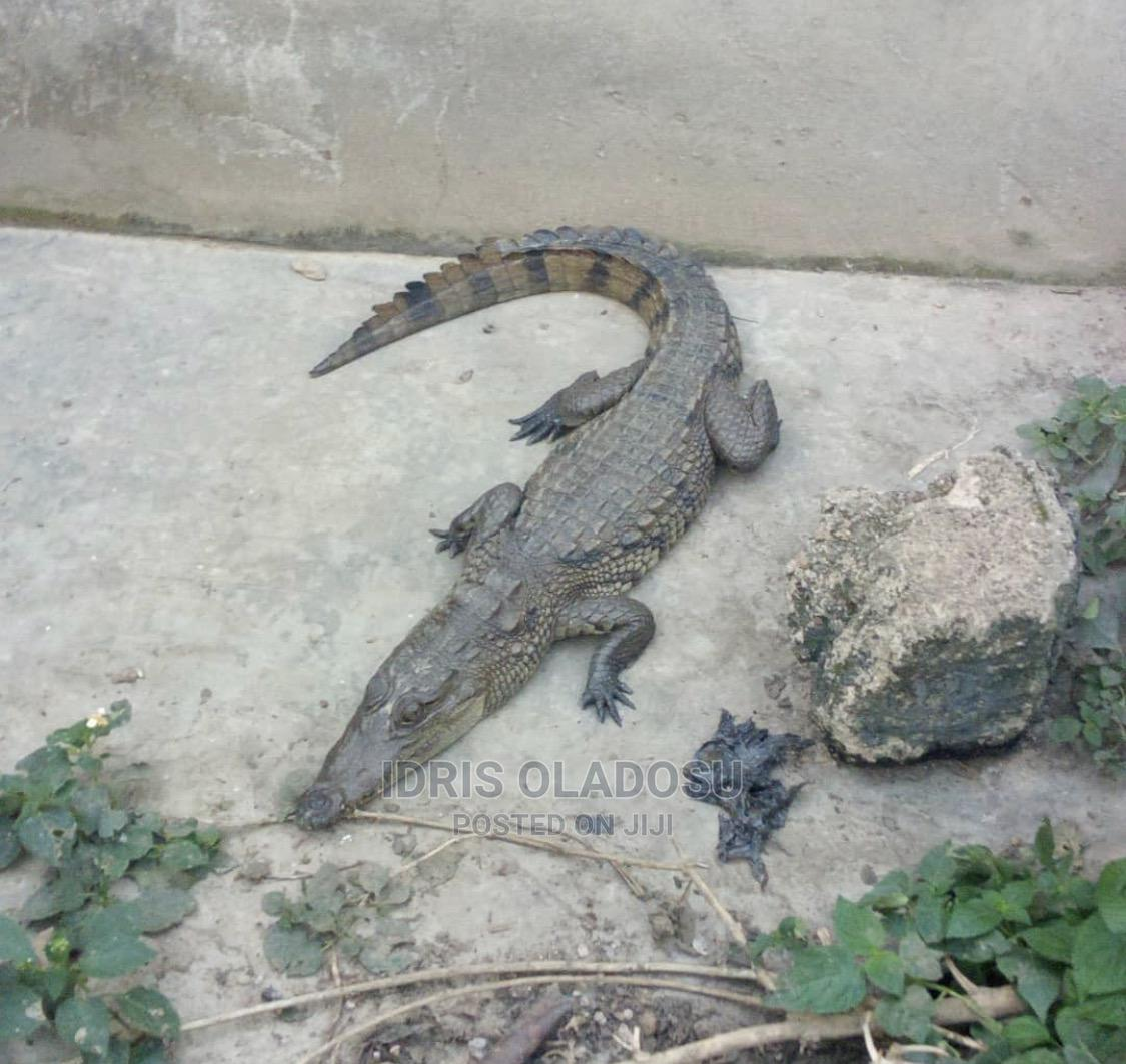 Archive: Nile Crocodile