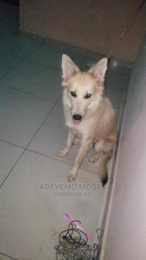 3-6 Month Female Purebred German Shepherd   Dogs & Puppies for sale in Abuja (FCT) State, Gudu