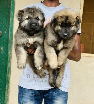 1-3 Month Female Purebred Caucasian Shepherd | Dogs & Puppies for sale in Lagos State, Abule Egba
