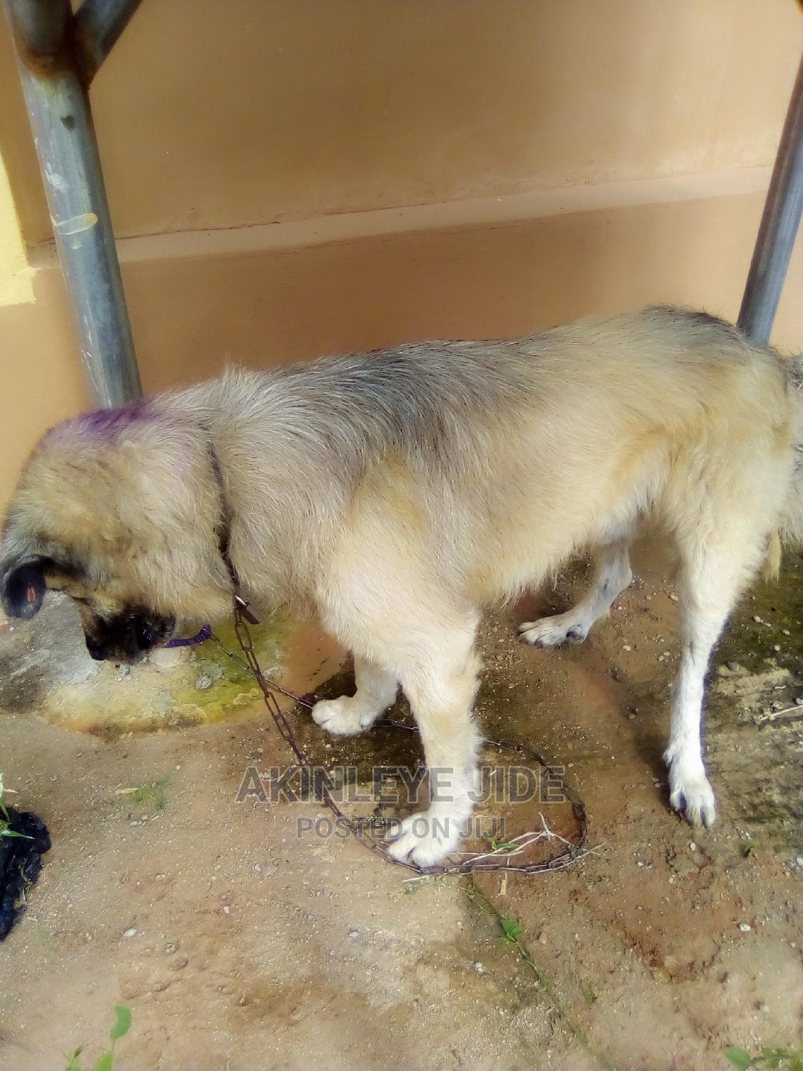Archive: 1+ Year Male Mixed Breed Caucasian Shepherd