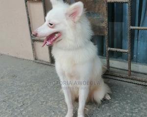 3-6 Month Male Purebred American Eskimo   Dogs & Puppies for sale in Lagos State, Apapa