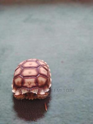 Giant African Tortoise | Reptiles for sale in Kaduna State, Zaria