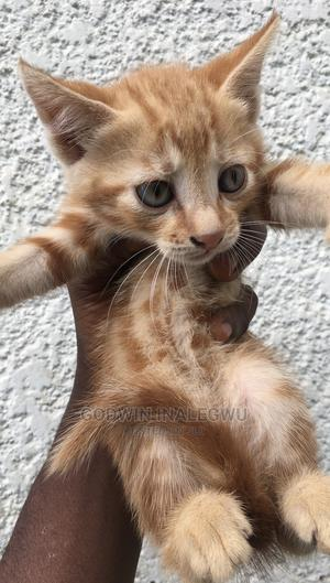 1-3 Month Female Mixed Breed Cat | Cats & Kittens for sale in Abuja (FCT) State, Wuse 2