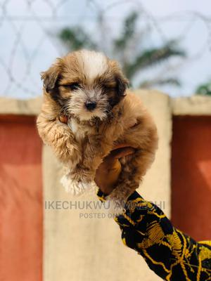 1-3 Month Female Purebred Lhasa Apso | Dogs & Puppies for sale in Ogun State, Abeokuta South