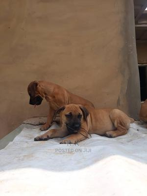 1-3 Month Female Purebred Boerboel | Dogs & Puppies for sale in Lagos State, Surulere