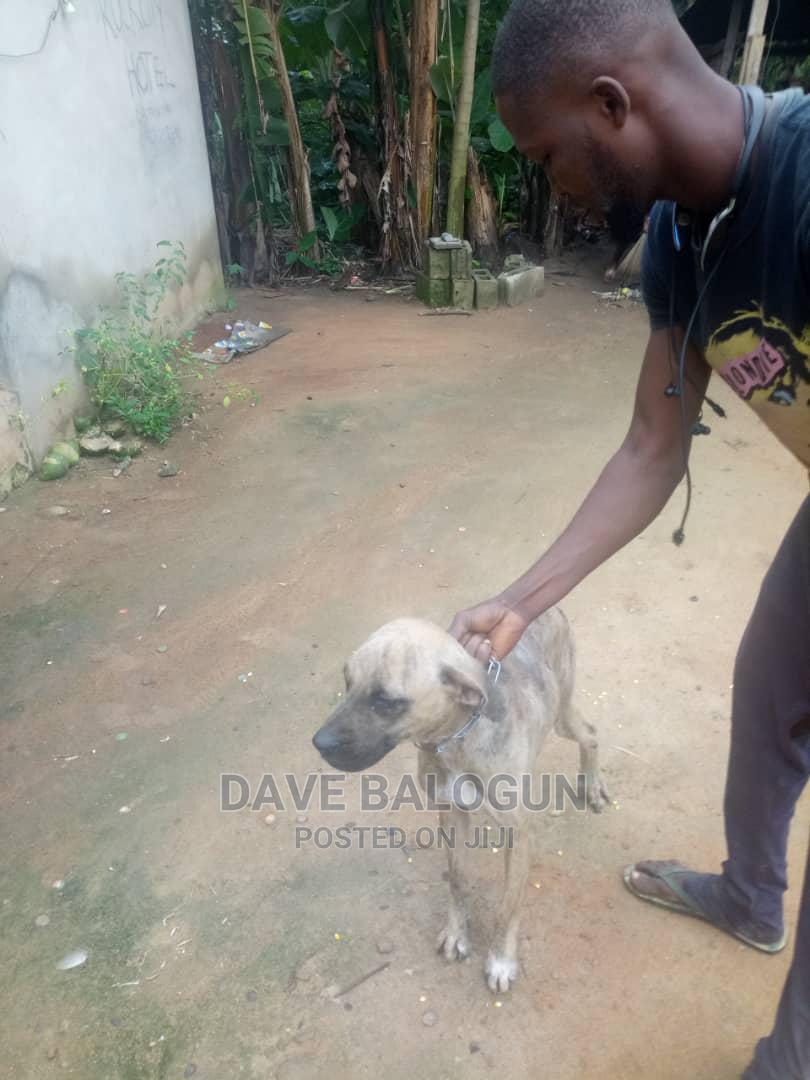 1+ Year Female Purebred Boerboel | Dogs & Puppies for sale in Akure, Ondo State, Nigeria