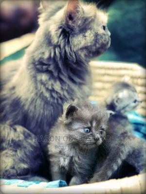 0-1 Month Male Purebred Persian   Cats & Kittens for sale in Lagos State, Alimosho