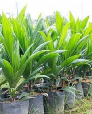 Dwarf Tenera Hybrid Oil Papm Seedlings | Feeds, Supplements & Seeds for sale in Edo State, Benin City