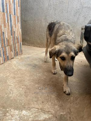 1+ Year Female Mixed Breed German Shepherd | Dogs & Puppies for sale in Abuja (FCT) State, Kubwa