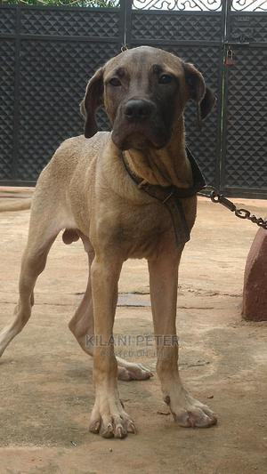 6-12 Month Male Purebred Boerboel   Dogs & Puppies for sale in Edo State, Egor