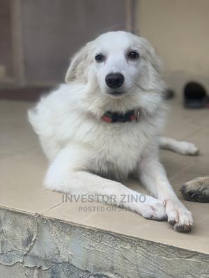 6-12 Month Male Purebred American Eskimo   Dogs & Puppies for sale in Lagos State, Kosofe