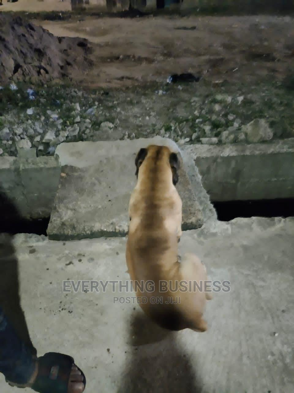 1+ Year Male Purebred Boerboel | Dogs & Puppies for sale in Isolo, Lagos State, Nigeria