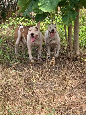 1-3 Month Female Purebred American Pit Bull Terrier | Dogs & Puppies for sale in Lagos State, Ajah