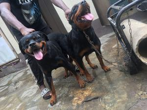 1+ Year Male Purebred Rottweiler   Dogs & Puppies for sale in Lagos State, Ipaja