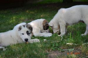 3-6 Month Female Purebred Anatolian Shepherd   Dogs & Puppies for sale in Lagos State, Isolo