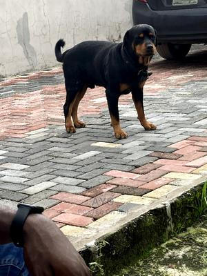1+ Year Male Purebred Rottweiler   Dogs & Puppies for sale in Lagos State, Ajah