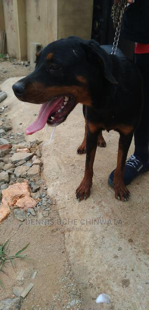 6-12 Month Male Purebred Rottweiler | Dogs & Puppies for sale in Abuja (FCT) State, Kubwa