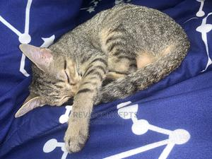 1-3 Month Male Purebred Cat | Cats & Kittens for sale in Ogun State, Abeokuta North