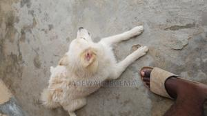 6-12 Month Male Purebred American Eskimo   Dogs & Puppies for sale in Lagos State, Badagry