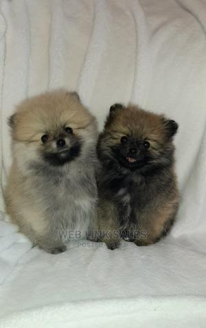 6-12 Month Female Purebred Pomeranian | Dogs & Puppies for sale in Lagos State, Surulere