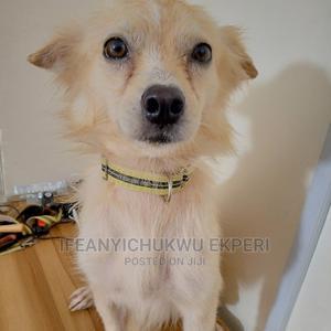 1+ Year Female Purebred American Eskimo | Dogs & Puppies for sale in Abuja (FCT) State, Jabi