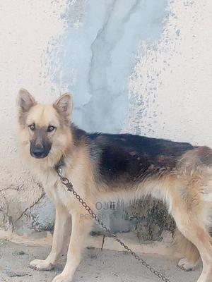1+ Year Male Mixed Breed German Shepherd | Dogs & Puppies for sale in Lagos State, Ibeju