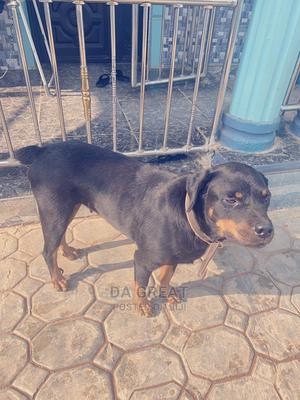 1+ Year Female Purebred Rottweiler   Dogs & Puppies for sale in Osun State, Ife