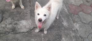 3-6 Month Male Purebred American Eskimo | Dogs & Puppies for sale in Delta State, Warri