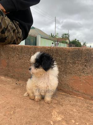 1-3 Month Male Purebred Lhasa Apso | Dogs & Puppies for sale in Kaduna State, Kaduna / Kaduna State