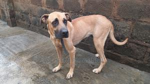1+ Year Female Purebred Boerboel   Dogs & Puppies for sale in Oyo State, Ibadan