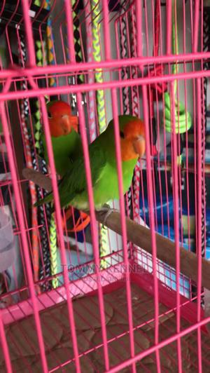 Love Birds Parrot and Cages Available   Birds for sale in Ogun State, Ijebu Ode