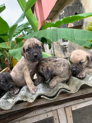 1-3 Month Male Purebred Boerboel | Dogs & Puppies for sale in Lagos State, Ojo