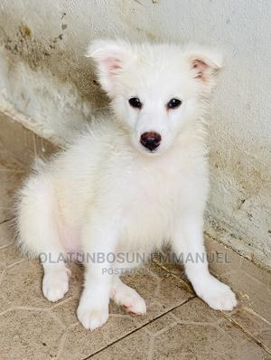 3-6 Month Male Purebred American Eskimo | Dogs & Puppies for sale in Oyo State, Ibadan