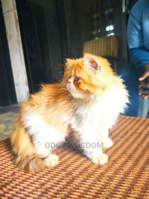 1-3 Month Male Purebred Persian   Cats & Kittens for sale in Edo State, Benin City