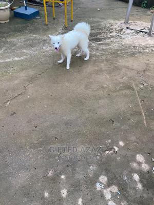 6-12 Month Male Purebred American Eskimo   Dogs & Puppies for sale in Abuja (FCT) State, Kubwa