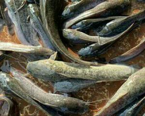 Clarias Fingerlings | Livestock & Poultry for sale in Lagos State, Alimosho