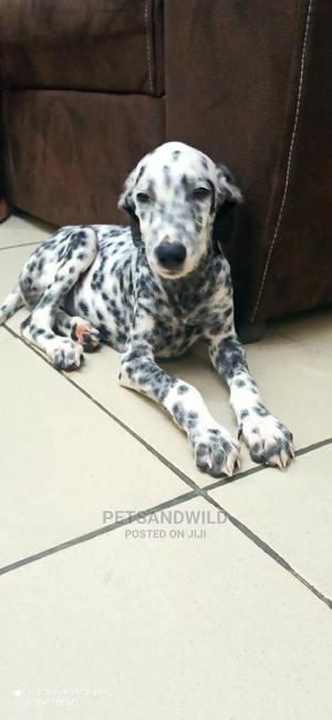 1-3 Month Male Purebred Dalmatian | Dogs & Puppies for sale in Abuja (FCT) State, Asokoro