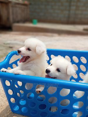 1-3 Month Male Purebred American Eskimo | Dogs & Puppies for sale in Ondo State, Ondo / Ondo State