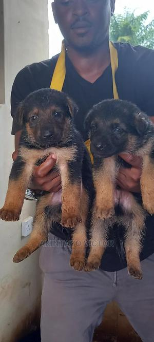 1-3 Month Male Purebred German Shepherd   Dogs & Puppies for sale in Ondo State, Akure