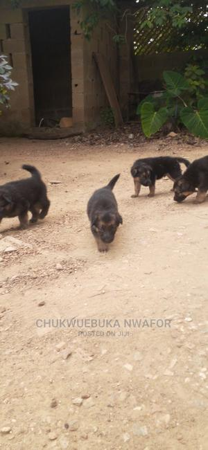 1-3 Month Male Purebred German Shepherd   Dogs & Puppies for sale in Oyo State, Ibadan