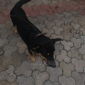 1+ Year Male Purebred German Shepherd | Dogs & Puppies for sale in Lagos State, Alimosho