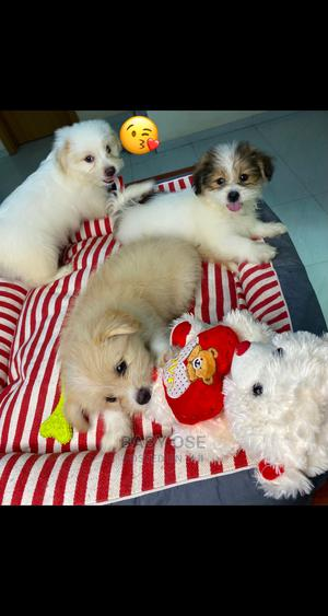 1-3 Month Female Purebred Lhasa Apso   Dogs & Puppies for sale in Lagos State, Lekki