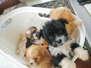1-3 Month Male Purebred Lhasa Apso | Dogs & Puppies for sale in Lagos State, Ogba