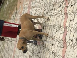 1+ Year Female Purebred Boerboel   Dogs & Puppies for sale in Abuja (FCT) State, Lugbe District