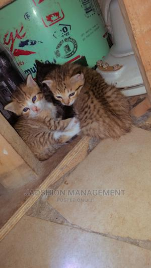 0-1 Month Female Mixed Breed Ocicat | Cats & Kittens for sale in Lagos State, Lekki