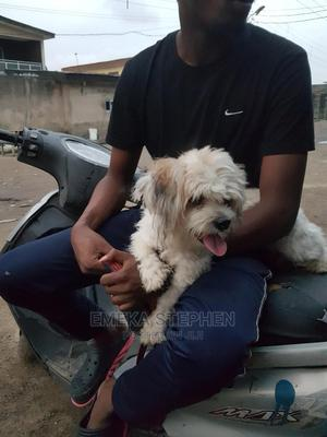 1+ Year Male Purebred Lhasa Apso | Dogs & Puppies for sale in Lagos State, Isolo