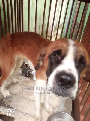 1+ Year Female Purebred Saint Bernard | Dogs & Puppies for sale in Lagos State, Ikorodu