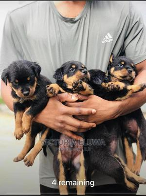 1-3 month Male Purebred Rottweiler | Dogs & Puppies for sale in Imo State, Owerri