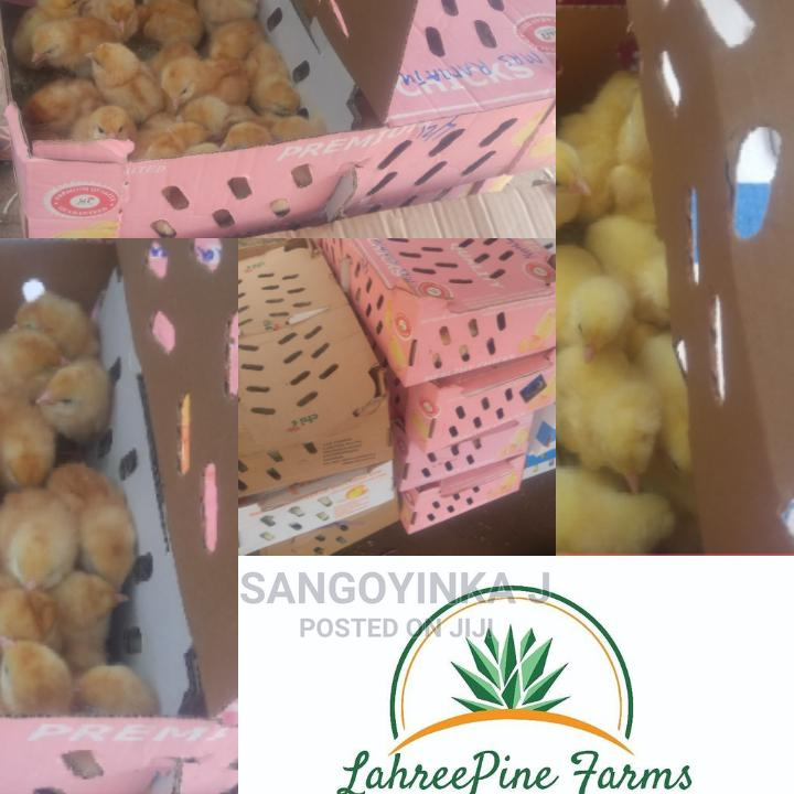 Day Old Chicks and Poult for Sale