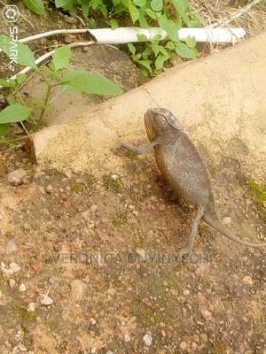 Chameleon for Sell | Reptiles for sale in Oyo State, Ibadan